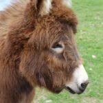 Noah The Clydey Donkey