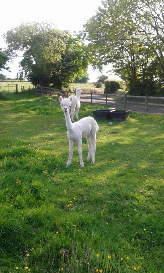Our Alpacas - Mo and Lali