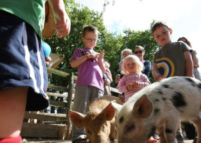 Animal Feeding With Pigs